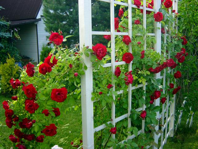 Шпалера для розы своими руками фото