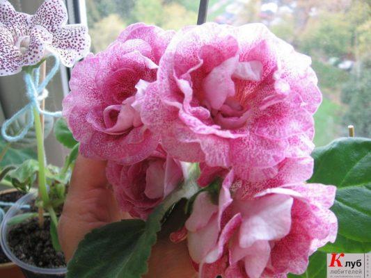 глоксиния цветок фото