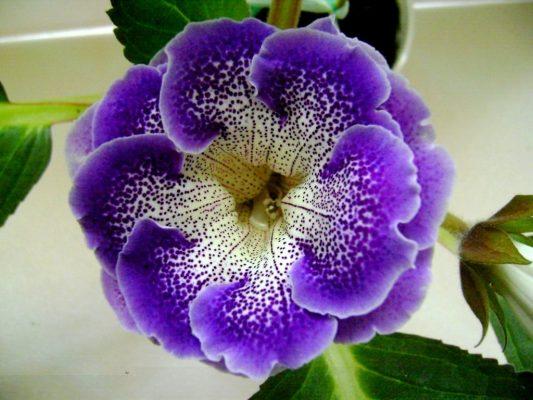 Цветок Глоксиния: фото
